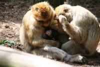 monkey_parents.jpg